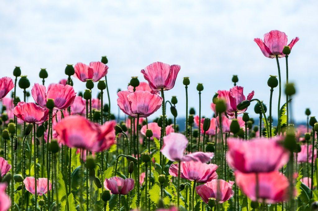 poppy, nature, flowers